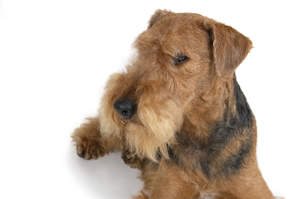 An adult Airedale Terrier showing off it's beard