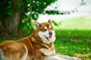 A brown and white Alaskan Malamute resting outside on the grass