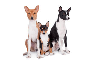A family of three lovely Basenjis