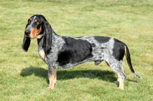 A gorgeous Basset Bleu De Gascogne with floppy ears