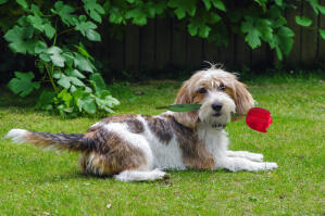 a Basset Griffon Vendeen Petit lying on the grass with a flower