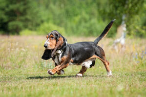 A beautiful, strolling Basset Hound with a thick, dark coat