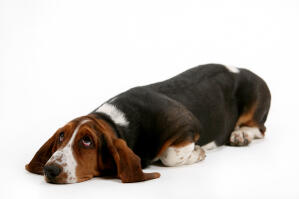A lovely young Basset Hound lying down with it's eyes wide open