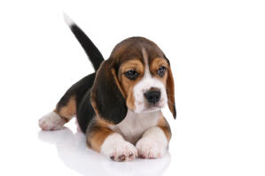 A beautiful Beagle puppy attempting to lay still