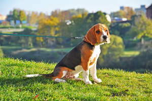 A male Beagle puppy, with a lovely, short, thick coat