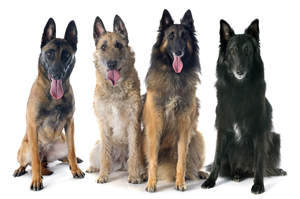 The four types of belgian shepherd dog (Groenendael, Laekenois, Malinois, Tervueren)