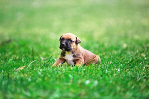 A very cute Belgian Shepherd Dog (Malinois) puppy on grass