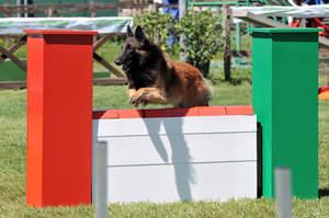 An agile Belgian Shepherd Dog (Tervueren) jumping a hurdle