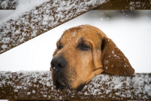 A Bloodhound resting it's head on a gate in the snow