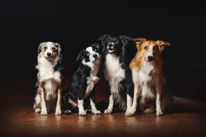 Four Border Collies, each with different coloured coats