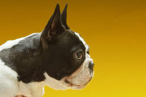 A close up of the Boston Terrier's typical stubby nose and large eyes and ears