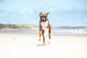 A boxer charging up the beach