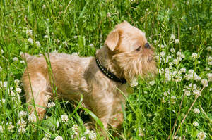 A little Brussels Griffon standing tall in the grass