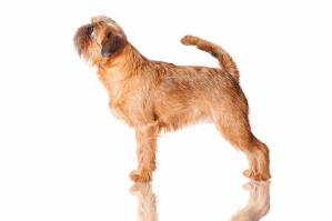 A long, brown coated Brussels Griffon standing tall