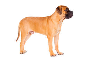 A beautiful, young male Bullmastiff standing tall, showing off its strong physique