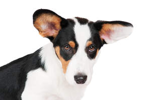 A close up of the Cardigan Welsh Corgi's wonderful, big ears