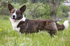 A healthy, brown and white Cardigan Welsh Corgi standing tall in the grass