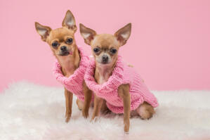 Two gorgeous chihuahuas dressed in pink