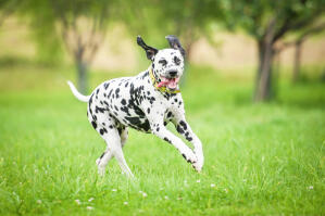 A healthy, adult Dalmatian enjoying some exercise outside