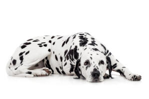 An adult Dalmatian with a lovely thick spotted coat