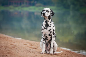 An obedient male Dalmatian sitting neatly, waiting for a command