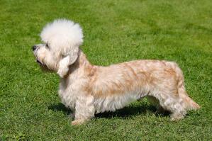 A beautiful, little Dandie Dinmont Terrier showing off its long body