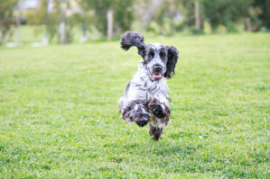 A beautiful, black and white English Cocker Spaniel running flat out