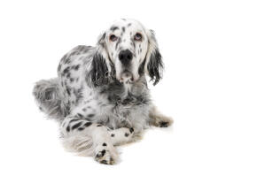 A mature adult English Setter with a lovely, thick, black and white coat