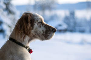 An English Setter's lovely, long nose, and soft, scruffy ears