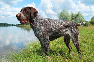 A wonderful German Wirehaired Pointer's thick, wiry coat and stubby tail