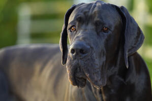 A close up of a Great Dane's lovely, thick, black coat