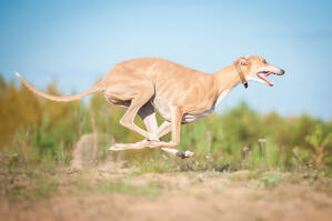 A healthy Greyhound at full pace