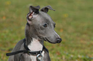 A beautiful little grey Italian Greyhound with it's ears perked