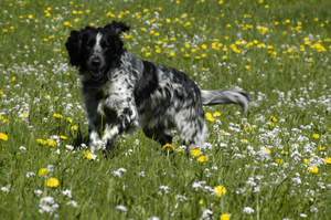 A Large Munsterlander enjoying a walk through a field of wild flowers