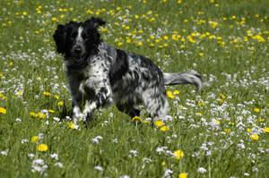A Large Munsterlander enjoying a walk through a field of wild flowers