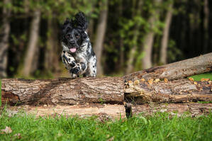 An athletic Large Munsterlander jumping over a log