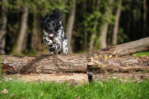 An athletic Large Munsterlander jumping over a log