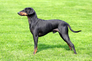 A Manchester Terrier showing off it's wonderful long legs and slender physique