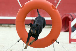 A healthy Manchester Terrier jumping through a hoop on an agility course