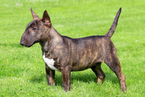 A Miniature Bull Terrier showing off it's short, muscular body and pointed ears