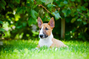 A healthy, little Miniature Bull Terrier lying in the grass, enjoying the sun