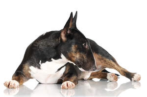 A healthy Miniature Bull Terrier showing off it's lovely, thick, coat
