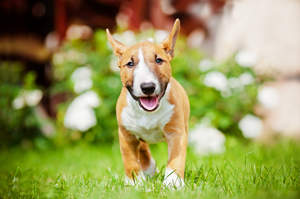 A lovely, young adult Miniature Bull Terrier with a beautiful, soft coat