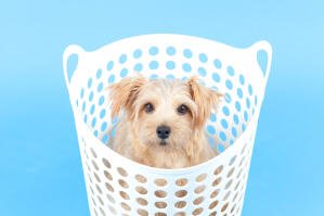 A healthy, young Norfolk Terrier pup, sitting in a washing basket
