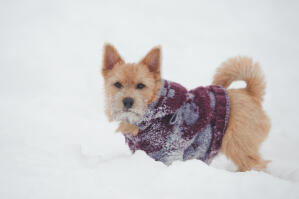 A Norwich Terrier with wonderful pointed ears, playing in the snow