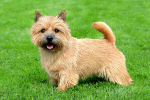 An adult Norwich Terrier with a beautiful bushy face and tail