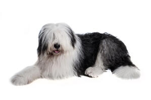 A maturing traditional black and white Old English Sheepdog showing off its fringe