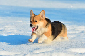 A Pembroke Welsh Corgi running at full pace through the snow