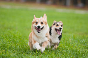 Two, healthy, adult Pembroke Welsh Corgis enjoying some exercise together