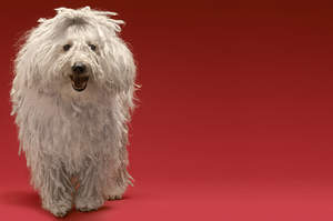A Komondor's beautiful little face and long, white coat